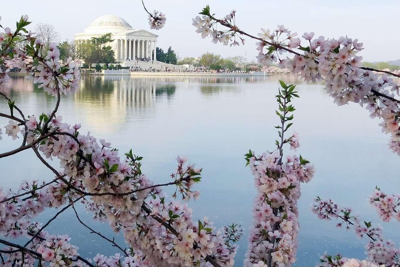 Dal Campidoglio e oltre : Cherry Blossom Festival